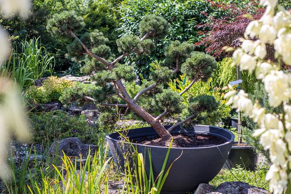 bonsai, baum, kaufen, anschauen, teuer, preis, guenstig