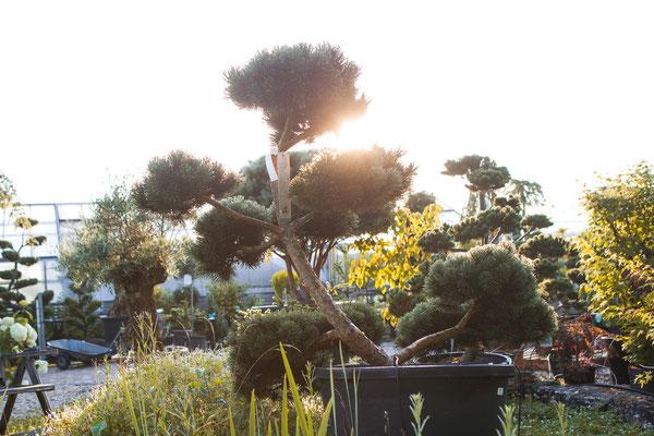 bonsai, formschnitt, formgehölz, kiefer, juniperus, wuerzburg, unterfranken,franken,bayern