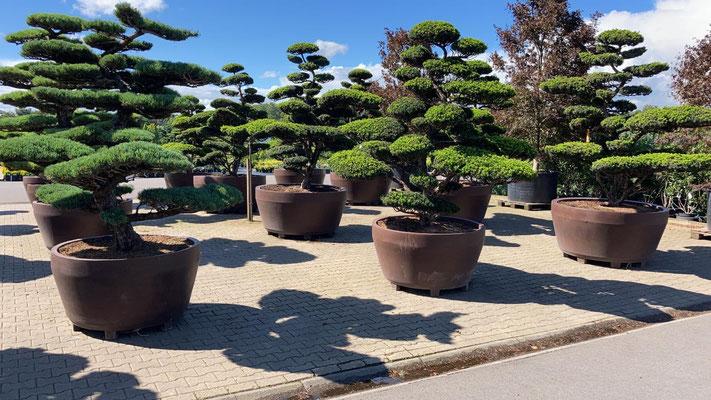 großer bonsai für garten kaufen, wuerburg, lieferung, einpflanzen