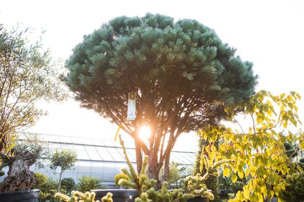 bonsai kaufen wuerzburg