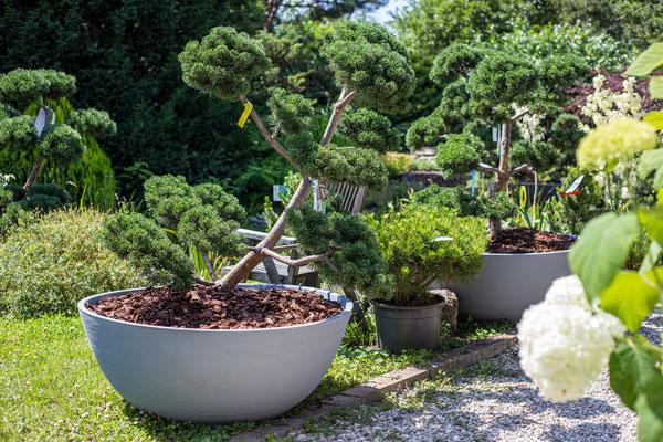 bonsai formschnitt, exklusiv, bestellen, kaufen, anschauen