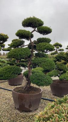 bonsai, pflege, schnitt, formschnitt kaufen, bestellen, shop, gärtnerei, gartencenter, baumschule