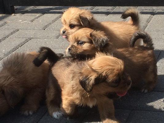 binnenkort boomers puppies beschikbaar voor serieuze liefhebbers