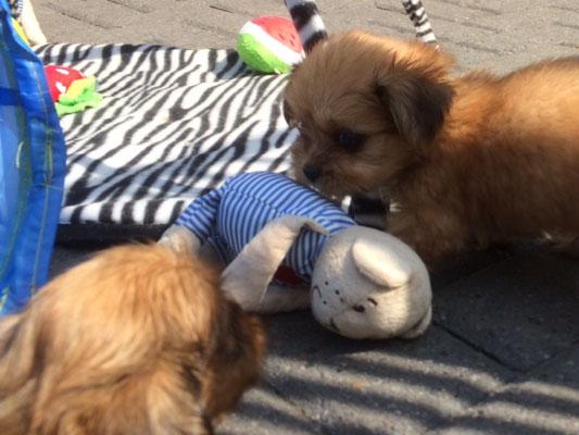 leuke boomer puppies uit gezonde ouders