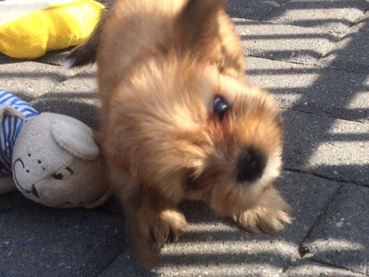 kerngezonde boomer pups uit gezonde ouderdieren geboren