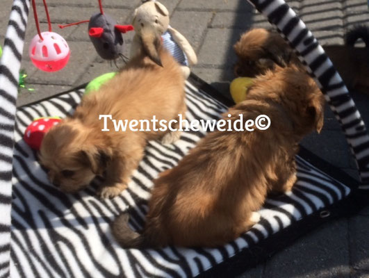 lhasa apso pups kennel