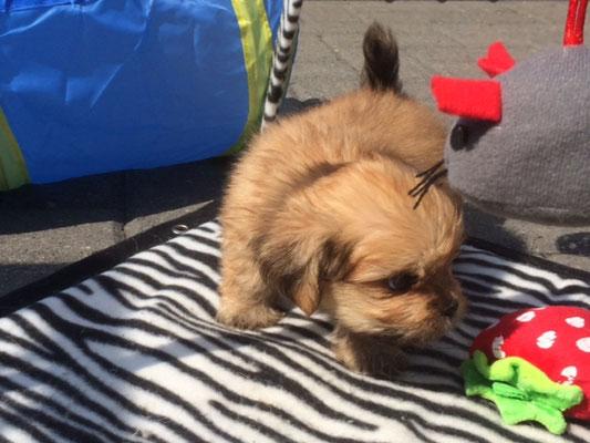super leuke boomer puppy heel vrij en speels
