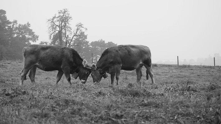 Kühe in Meggen von ANGELINA MAURIELLO aus Luzern