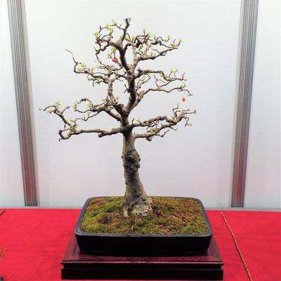 Bonsaiausstellung beim Chemnitzer Frühling 2018