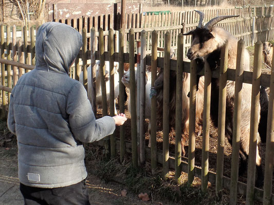 Ziegen bei der Fütterung