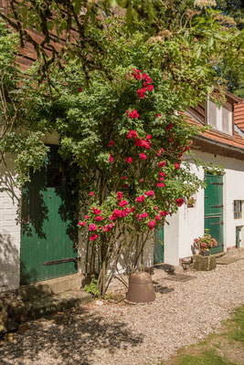 Rose Altes Forstamt im Teutoburger Wald