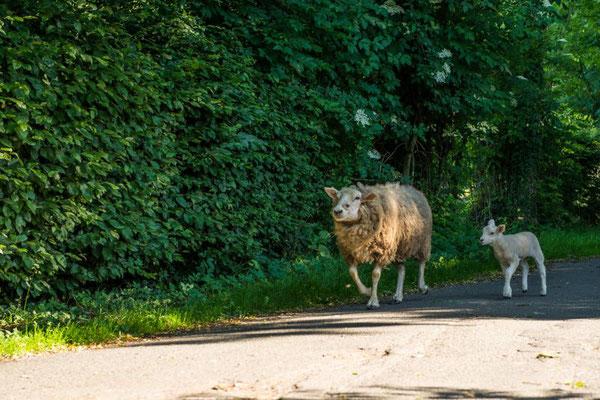 Schafe auf dem Weg zur Weide