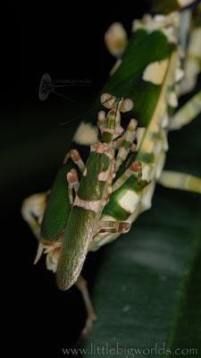 Theopropus sp., Paarung