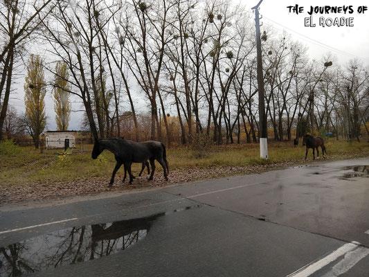 Wildpferde auf dem Weg Richtung Tschernobyl Stadt