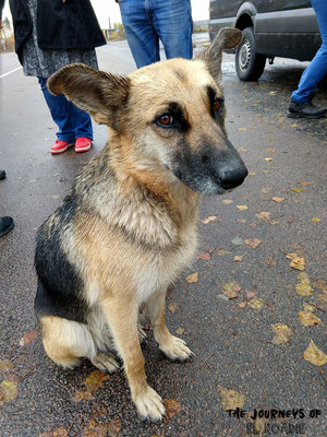 Streunende Hunde und sogar Wölfe gibt es zahlreiche in der Zone