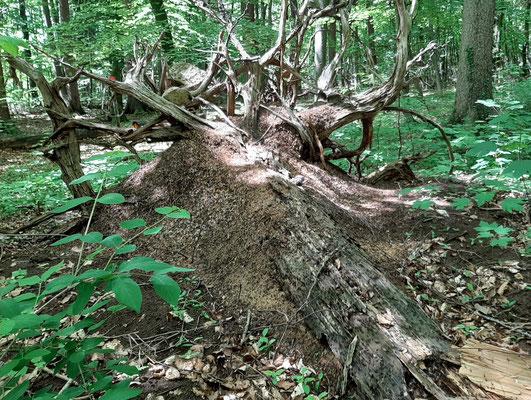 Ein Bild aus dem letzten Jahr zeigt, dass das Nest etwas geschrumpft ist, der Baumstamm aber noch mehr zerfallen.