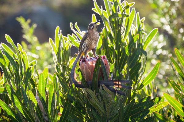 Hermanus -Sugarbird  P3081944