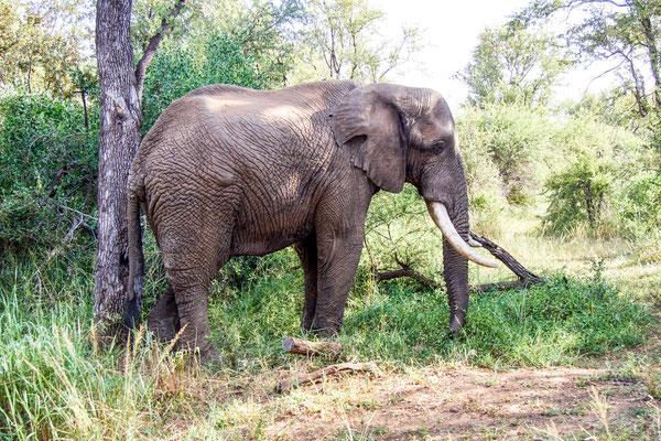 Elefant - 0261