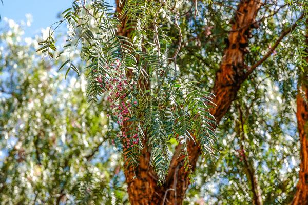 Pfefferbaum auf Fogo