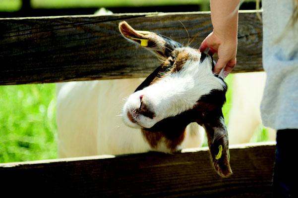Unsere Ziegen genießen die Streicheleinheiten und lieben es, von euch mit unserem Ziegenfutter gefüttert zu werden.