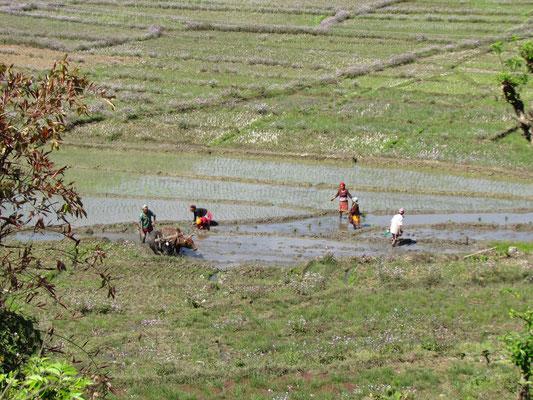 hier wird Reis angepflanzt