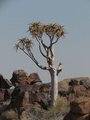 Köcherbäume