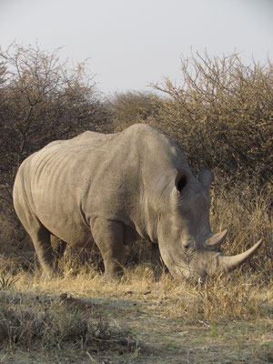 Nashorn noch näher