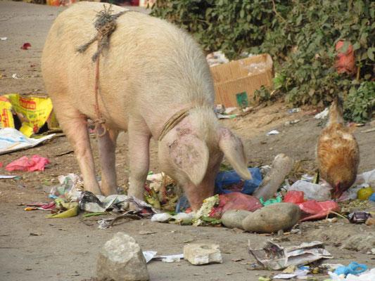 Schweine bringen hier kein Glück