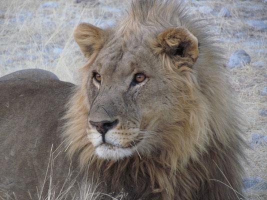 König von Etosha