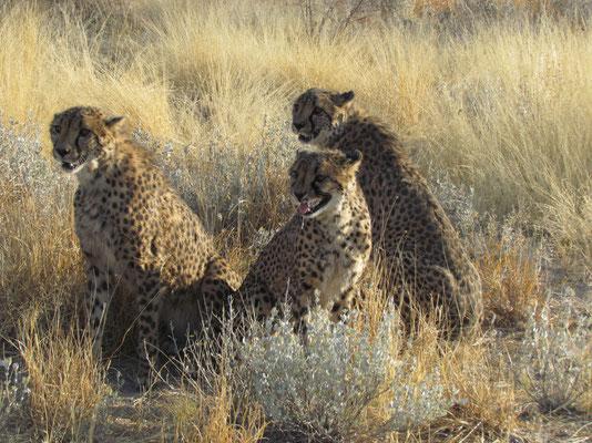 auf Cheetahtour