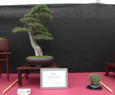 Cipresso - Bonsai Club Boves