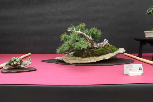 Larice - Bonsai Club Somma