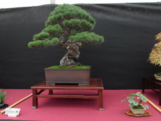 Pino pentaphilla - Bonsai Club Martesana