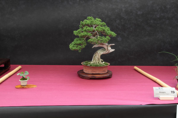 Juniperus chinensis Itoigawa - Bonsai Club Laudense