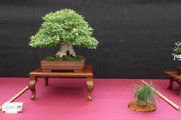 Acero buergerianum - Bonsai Club Laudense