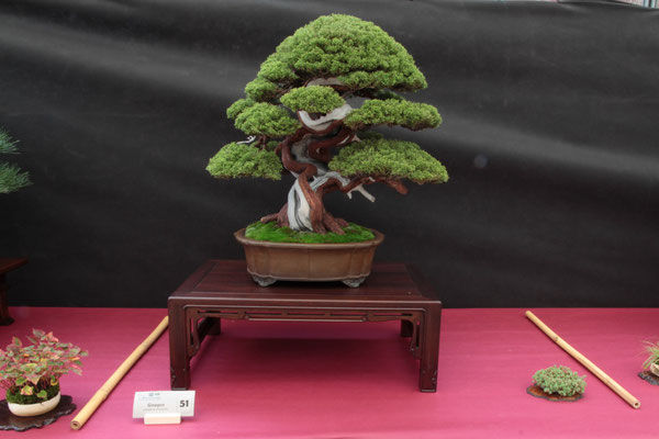 Juniperus chinensis Itoigawa - Studio Botanico