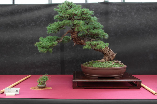 Larice - Pasquè Bonsai Club