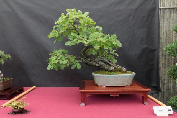 Quercus - Ponente Bonsai Savona