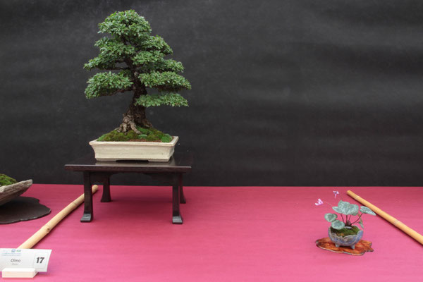 Olmo - Bonsai Club Martesana