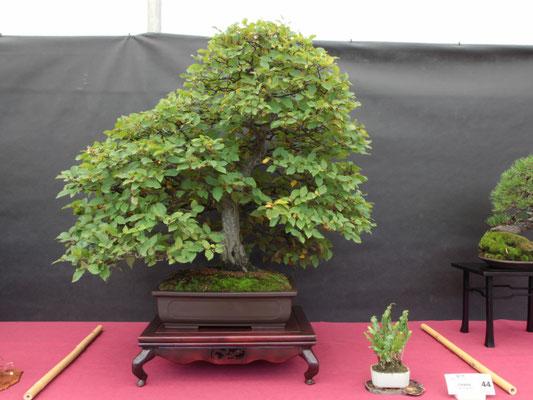 Carpino (carpinus betulus) - Bonsai Club Castenedolo