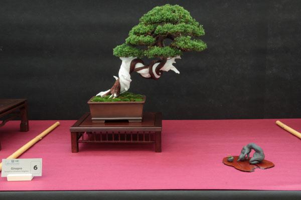 Juniperus chinensis Itoigawa - Bonsai Blu