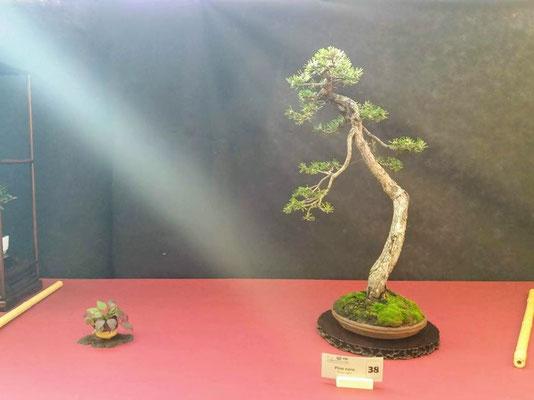 Pinus nigra - Bonsai Club Torino