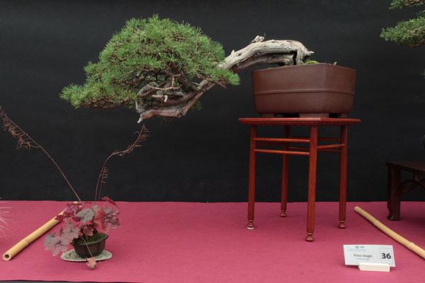 Pino mugo - Amici Bonsai Arte e Natura Lecco