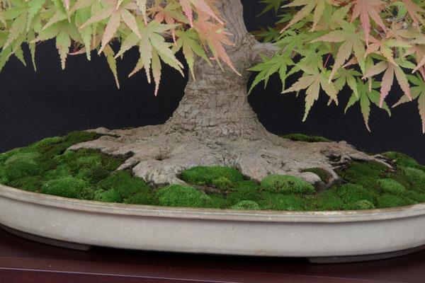 Acero palmato yamamomiji - Bonsai Club Amici del Verde