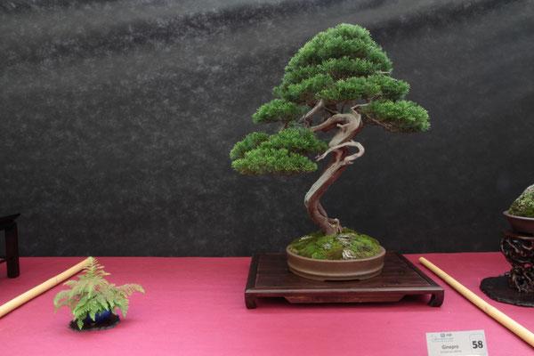 Juniperus Sabina  - Jikan-en
