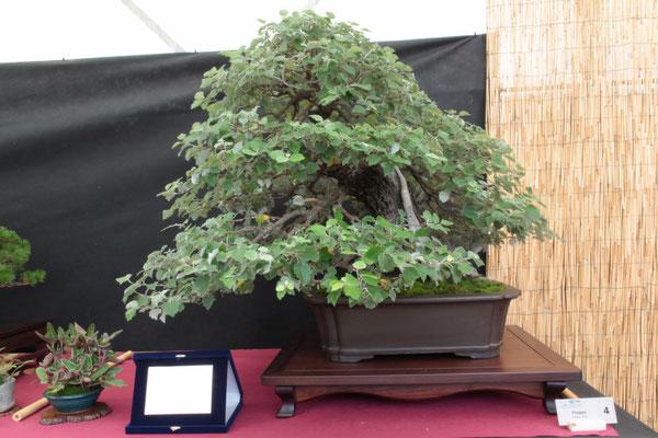 Pioppo - Bonsai Club Amici del Verde