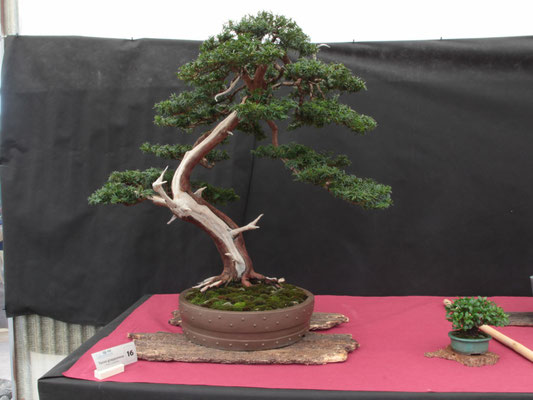 Tasso cuspidata - Bonsai Club Martesana