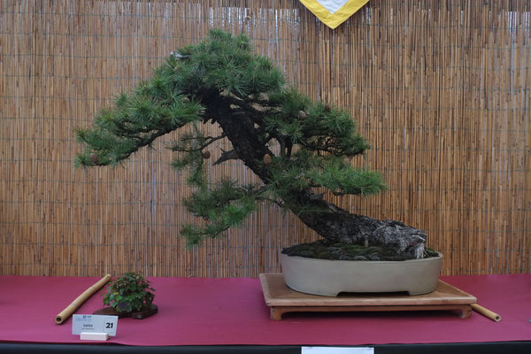 Larice - Bonsai Club Alessandria
