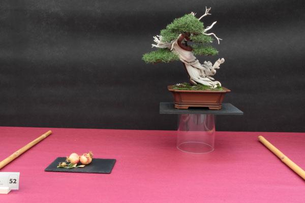 Juniperus phoenicea - Studio Botanico