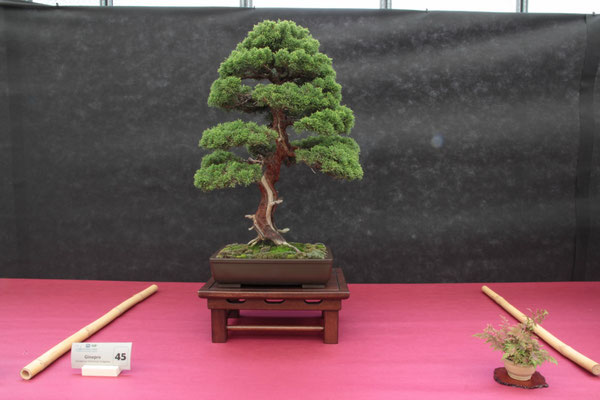 Juniperus chinensis Itoigawa - Bonsai Club Castenedolo